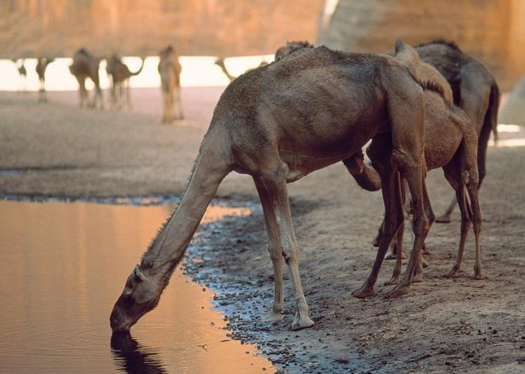 camels-drinking-water_5e14197ea00f2